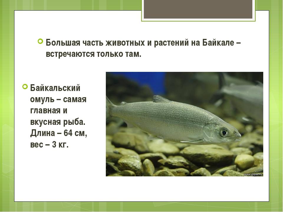 Большая часть животных и растений на Байкале – встречаются только там. Байкал...