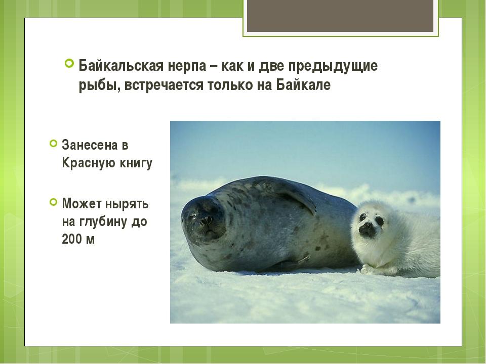 Байкальская нерпа – как и две предыдущие рыбы, встречается только на Байкале...