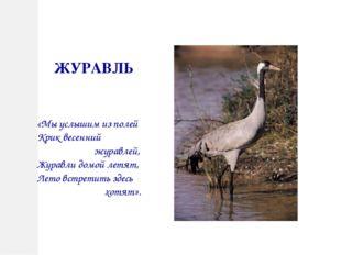 ЖУРАВЛЬ «Мы услышим из полей Крик весенний журавлей, Журавли домой летят, Лет