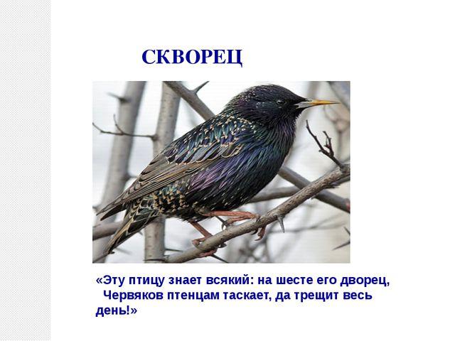 СКВОРЕЦ «Эту птицу знает всякий: на шесте его дворец, Червяков птенцам таска...