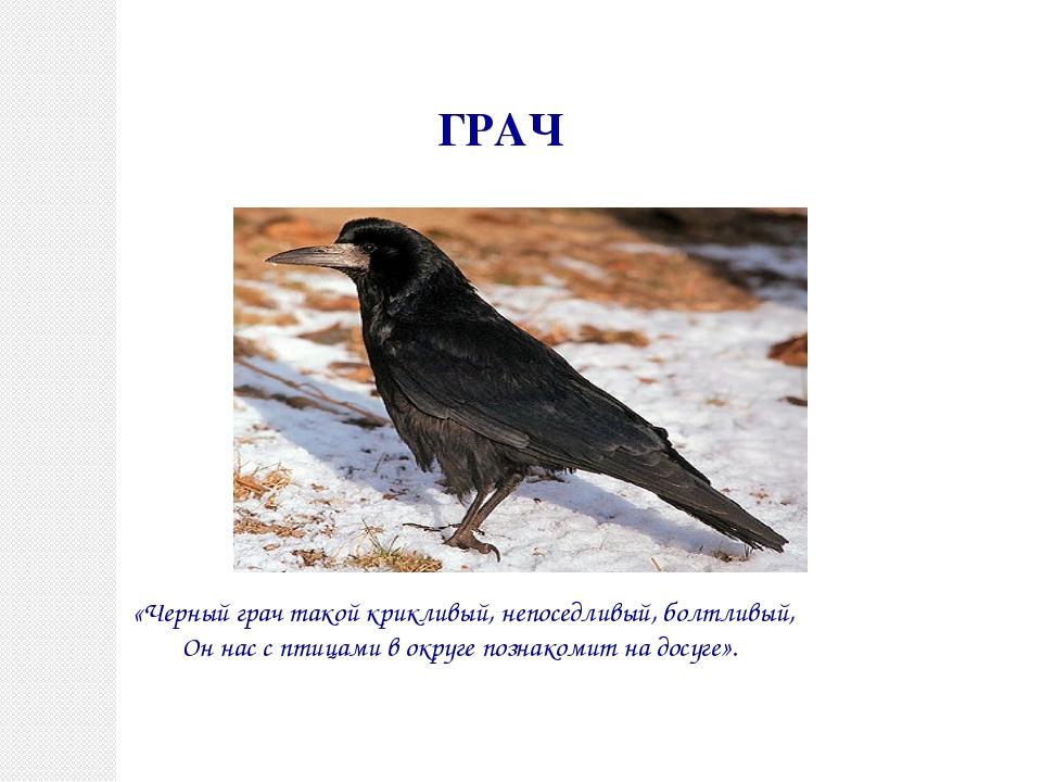 ГРАЧ «Черный грач такой крикливый, непоседливый, болтливый, Он нас с птицами...