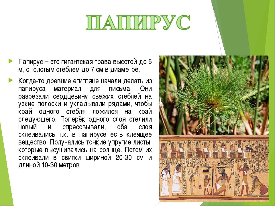 Папирус – это гигантская трава высотой до 5 м, с толстым стеблем до 7 см в ди...