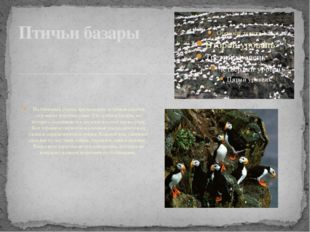 На отвесных скалах арктических островов селятся огромные колонии птиц. Это п