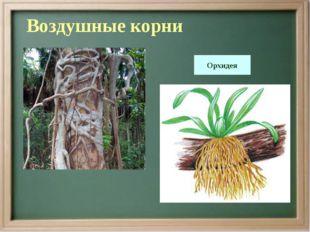 Воздушные корни Орхидея