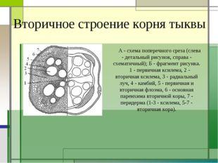 Вторичное строение корня тыквы А - схема поперечного среза (слева - детальный