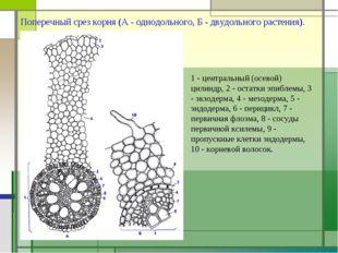 Поперечный срез корня (А - однодольного, Б - двудольного растения). 1 - центр