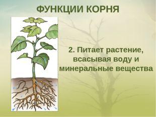 ФУНКЦИИ КОРНЯ 2. Питает растение, всасывая воду и минеральные вещества