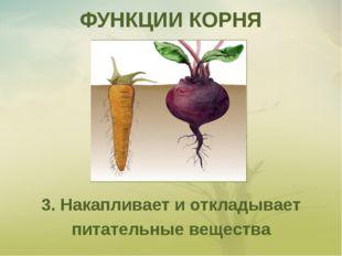 ФУНКЦИИ КОРНЯ 3. Накапливает и откладывает питательные вещества