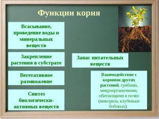 Функции корня Всасывание, проведение воды и минеральных веществ Запас питате