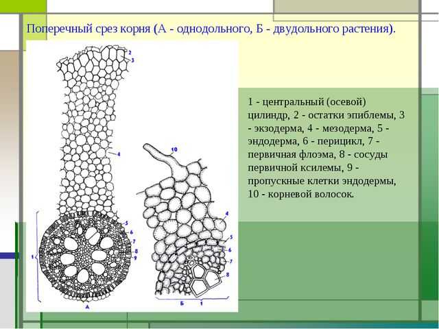 Поперечный срез корня (А - однодольного, Б - двудольного растения). 1 - центр...