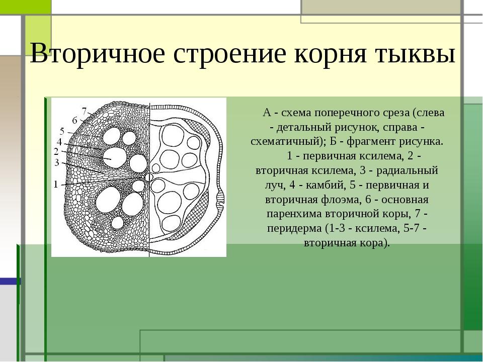 Вторичное строение корня тыквы А - схема поперечного среза (слева - детальный...