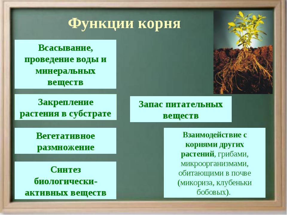 Функции корня Всасывание, проведение воды и минеральных веществ Запас питате...