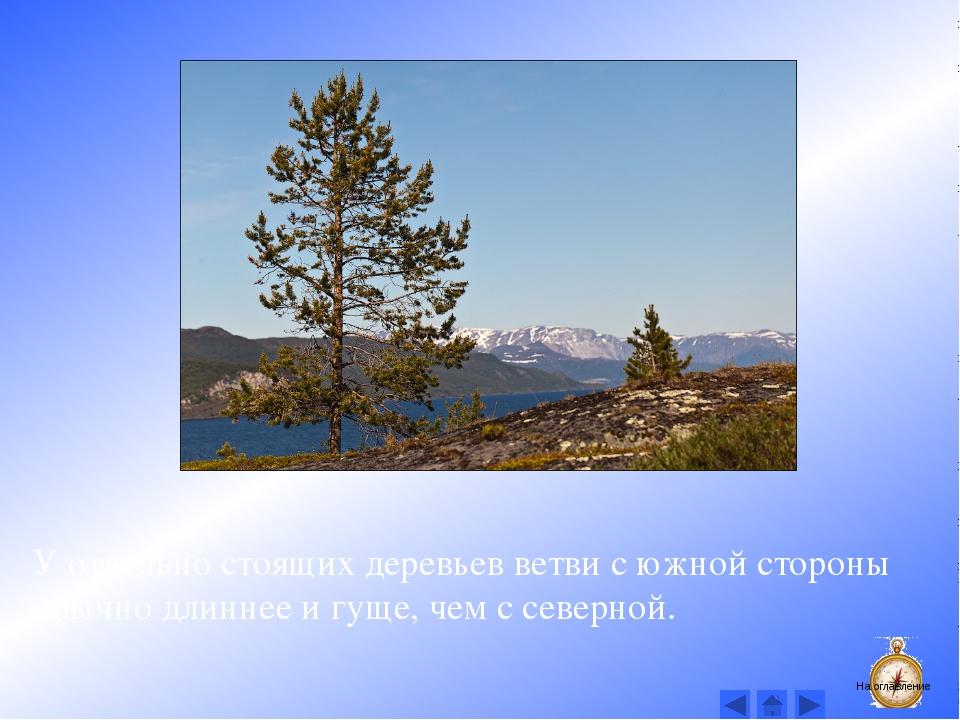 У отдельно стоящих деревьев ветви с южной стороны обычно длиннее и гуще, чем...