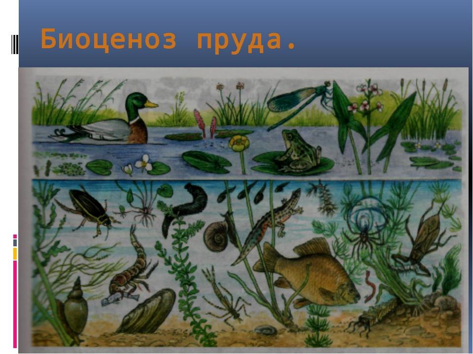 Биоценоз пруда.
