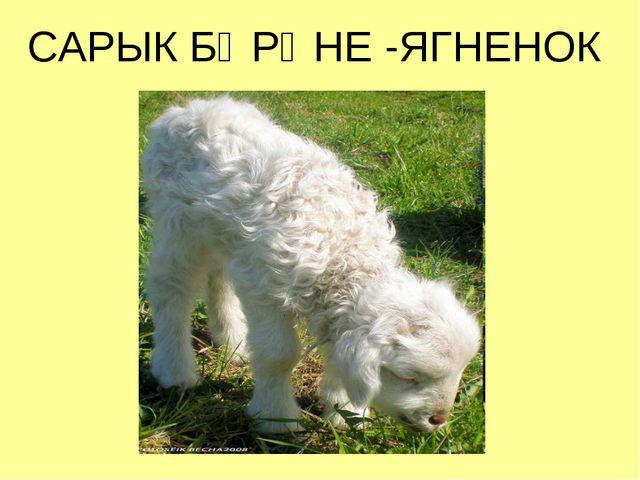 САРЫК БӘРӘНЕ -ЯГНЕНОК