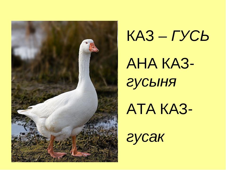 КАЗ – ГУСЬ АНА КАЗ-гусыня АТА КАЗ- гусак