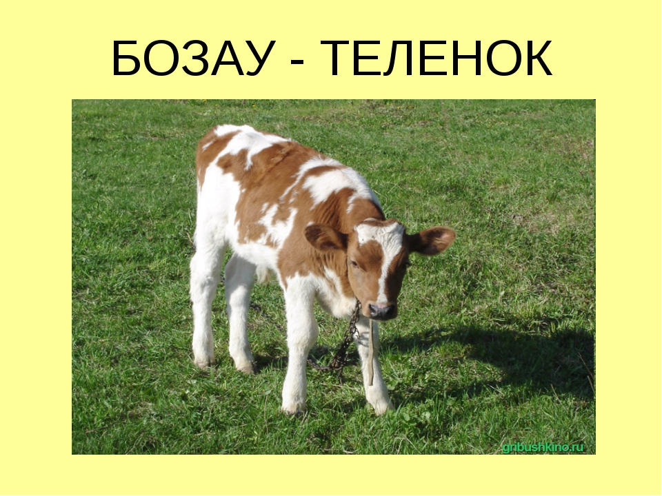 БОЗАУ - ТЕЛЕНОК