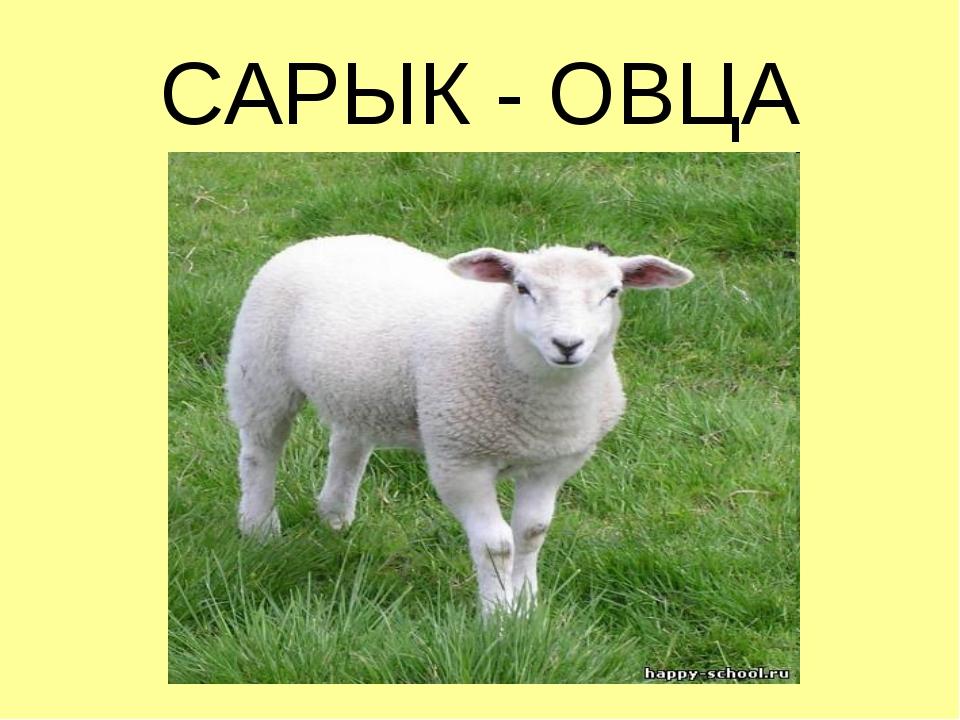 САРЫК - ОВЦА
