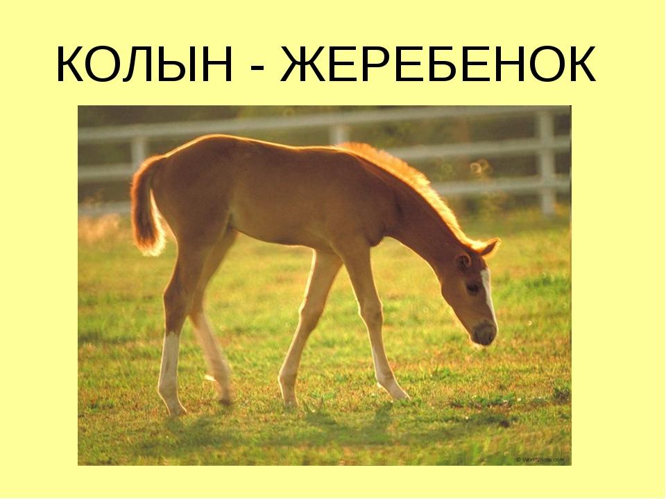 КОЛЫН - ЖЕРЕБЕНОК