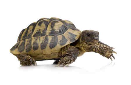 http://turtleshack.com/store/images/Juvenile%20Hermanns%20Tortoise%20Picture.jpg