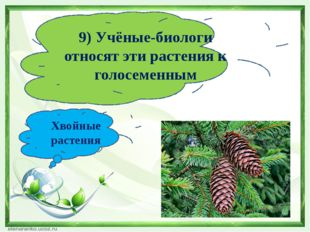 9) Учёные-биологи относят эти растения к голосеменным Хвойные растения