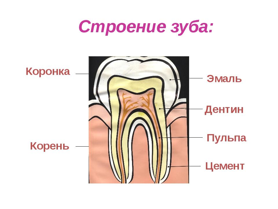 Строение зуба: Коронка Корень Эмаль Дентин Пульпа Цемент