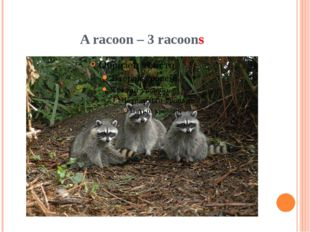 A racoon – 3 racoons