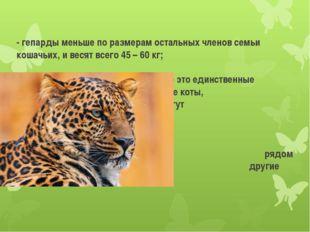 - гепарды меньше по размерам остальных членов семьи кошачьих, и весят всего