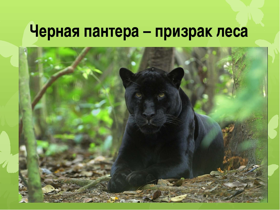Черная пантера – призрак леса