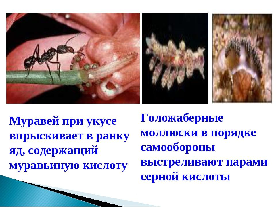 Муравей при укусе впрыскивает в ранку яд, содержащий муравьиную кислоту Голож...