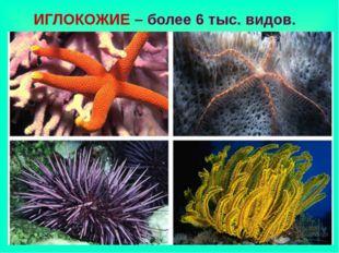 ИГЛОКОЖИЕ – более 6 тыс. видов.
