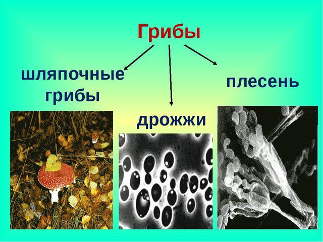 Грибы шляпочные грибы дрожжи плесень