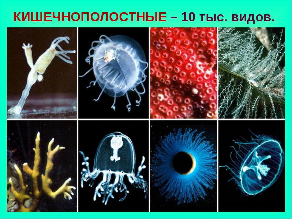 КИШЕЧНОПОЛОСТНЫЕ – 10 тыс. видов.
