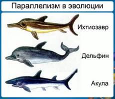 Пример параллелизма в эволюции формы тела у хрящевых рыб (акула), рептилий (ихтиозавр) и млекопитающий (дельфин)