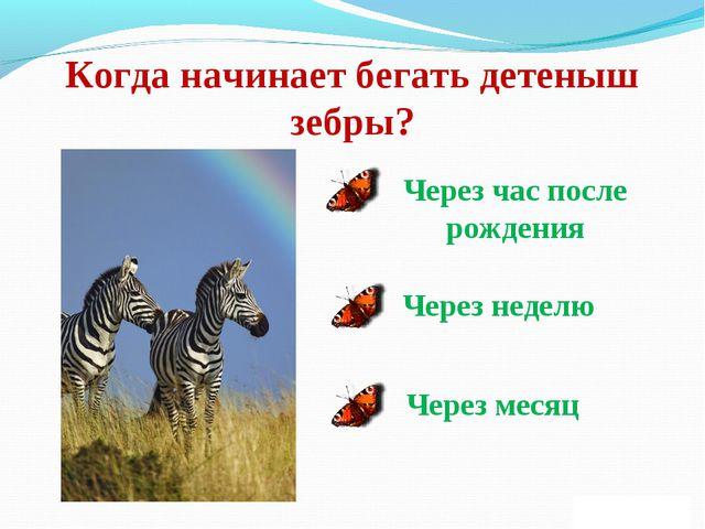 Когда начинает бегать детеныш зебры? Через час после рождения Через неделю Че...