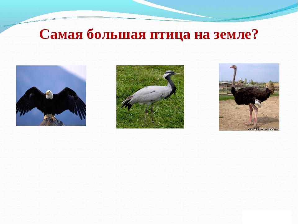 Самая большая птица на земле?