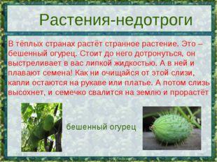 * * Растения-недотроги В тёплых странах растёт странное растение. Это – бешен