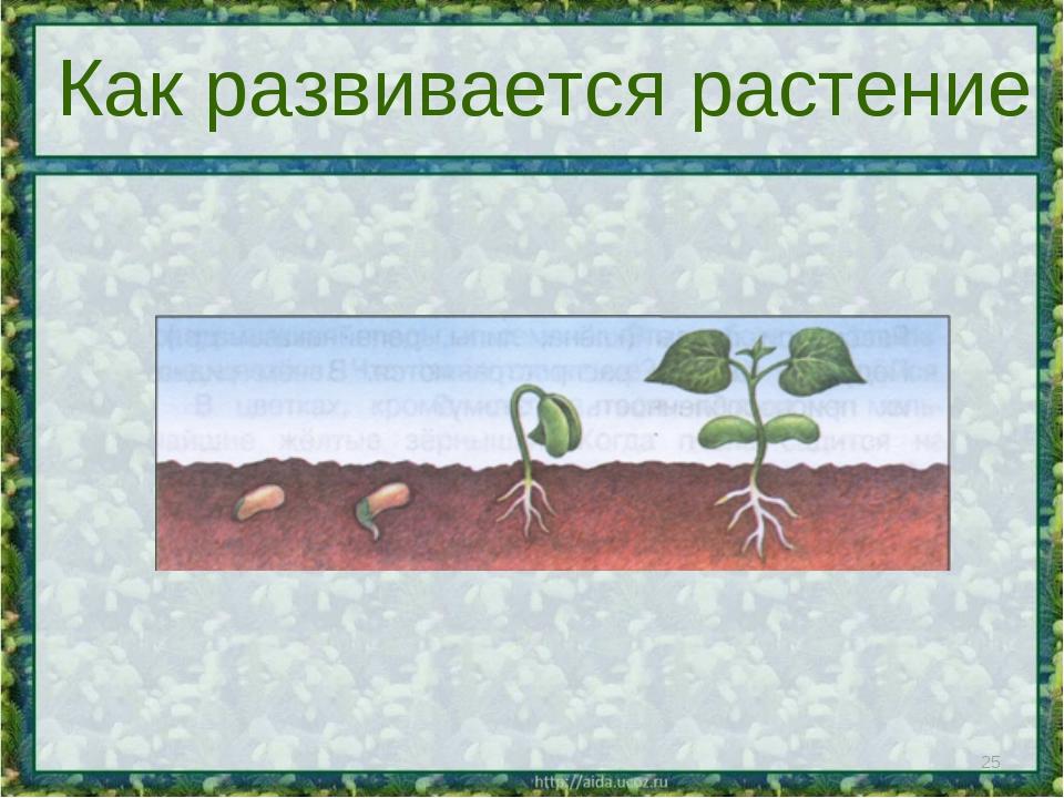 * Как развивается растение