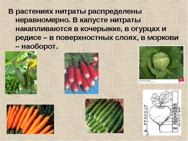 В растениях нитраты распределены неравномерно. В капусте нитраты накапливаютс...