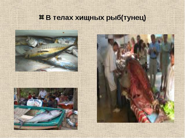 В телах хищных рыб(тунец)