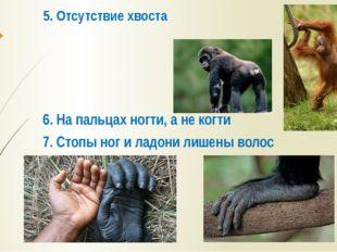 5. Отсутствие хвоста 6. На пальцах ногти, а не когти 7. Стопы ног и ладони ли