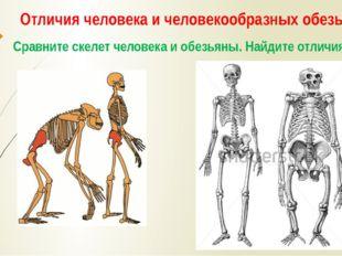 Отличия человека и человекообразных обезьян Сравните скелет человека и обезья
