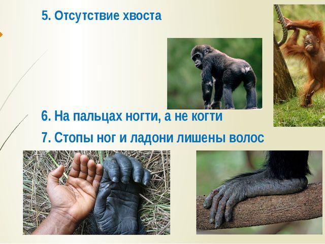 5. Отсутствие хвоста 6. На пальцах ногти, а не когти 7. Стопы ног и ладони ли...