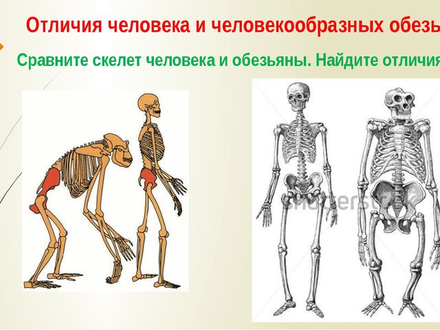 Отличия человека и человекообразных обезьян Сравните скелет человека и обезья...