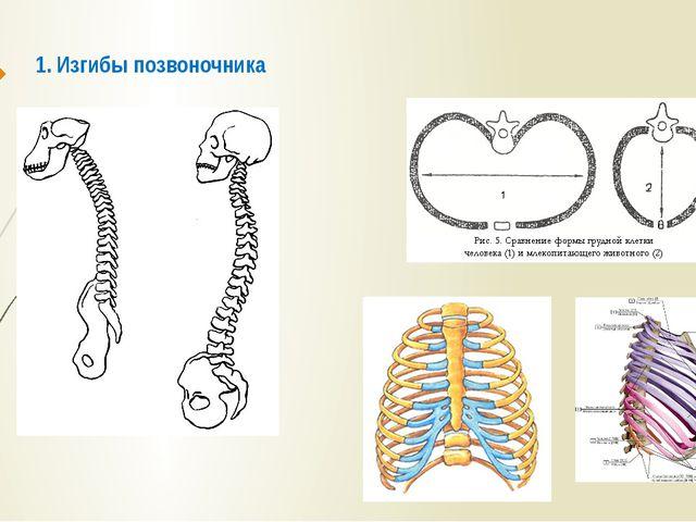 1. Изгибы позвоночника 2. Плоская форма грудной клетки