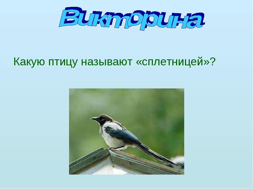 Какую птицу называют «сплетницей»?