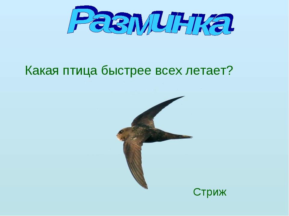 Какая птица быстрее всех летает? Стриж