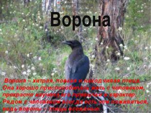 Ворона Ворона – хитрая, ловкая и находчивая птица. Она хорошо приспособилась
