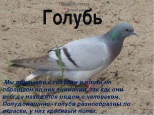 Голубь Мы привыкли к голубям и почти не обращаем на них внимания, так как они