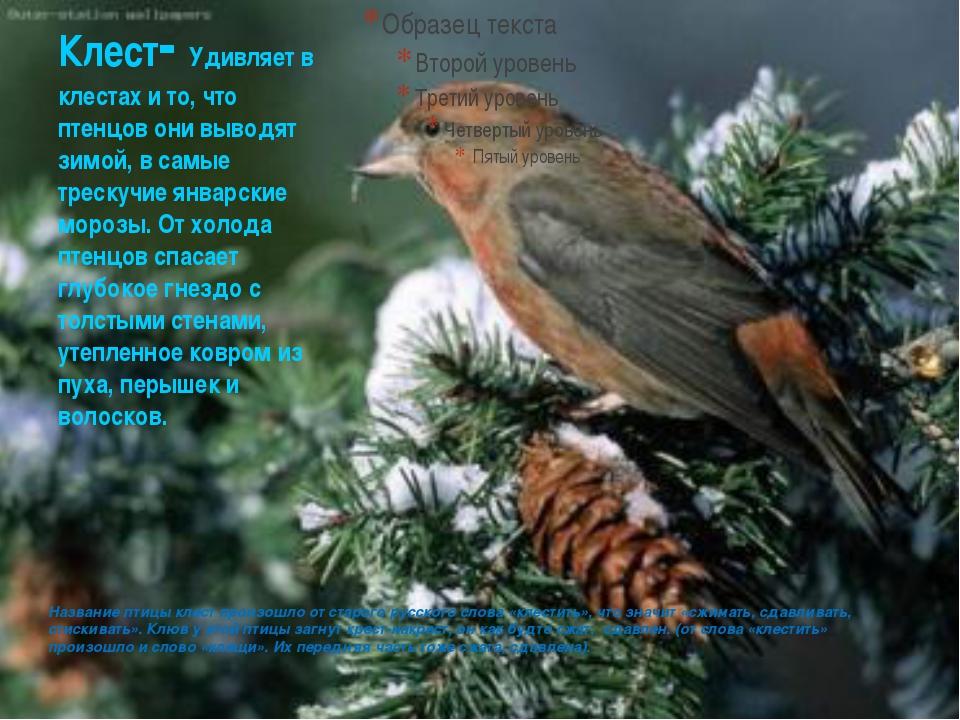 Клест- Удивляет в клестах и то, что птенцов они выводят зимой, в самые треску...